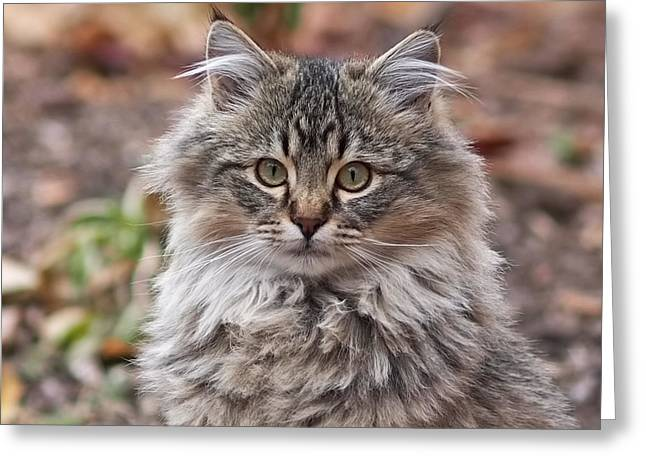 Portrait Of A Maine Coon Kitten Greeting Card by Rona Black