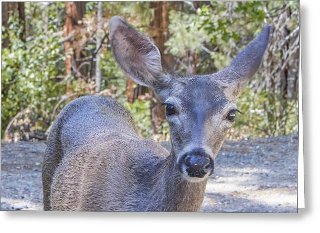 Californian Greeting Cards - Portrait of a Mule Deer Greeting Card by Nicholas Blackwell