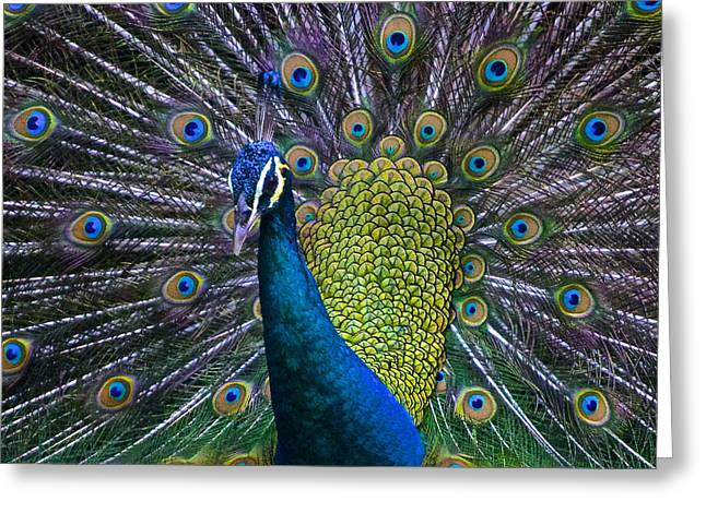Faa Featured Greeting Cards - Portrait of a Peacock Greeting Card by Venetia Featherstone-Witty