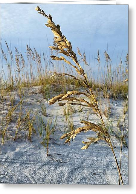 Florida Panhandle Greeting Cards - Portrait of a Pensacola Beach Sea Oat Greeting Card by JC Findley
