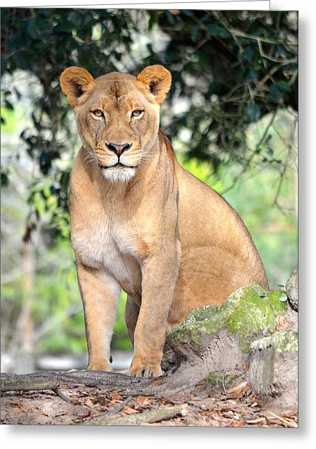 Jacksonville Greeting Cards - Portrait of a Proud Lioness Greeting Card by Richard Bryce and Family