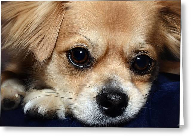 Puppies Photographs Greeting Cards - Portrait of a Pup Greeting Card by Lisa Knechtel