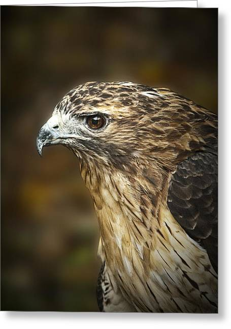 Red Tail Hawk Photo Greeting Cards - Portrait of a Red Tail Hawk Greeting Card by Randall Nyhof