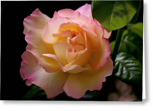 Petals Photographs Greeting Cards - Portrait of a Rose Greeting Card by Rona Black