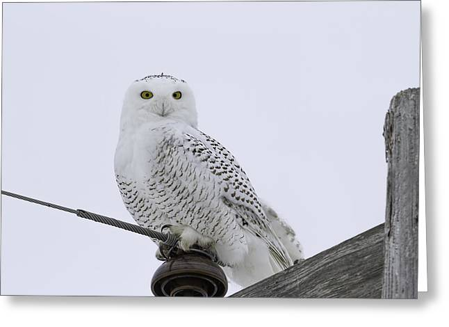 Snowy White Owl Greeting Cards - Portrait Of A Snowy Owl Greeting Card by Thomas Young