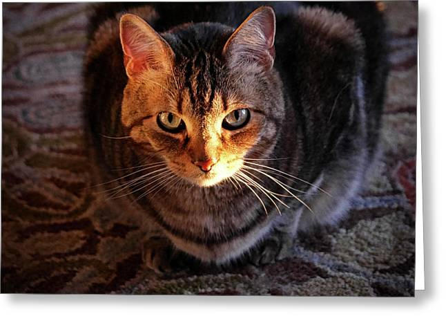 Portrait Of A Tabby Cat With Sunlight Greeting Card by Al Petteway & Amy White