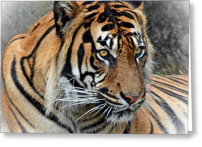 Sf Bay Bombers Greeting Cards - Portrait of a Tiger Fade to White Version Greeting Card by Jim Fitzpatrick