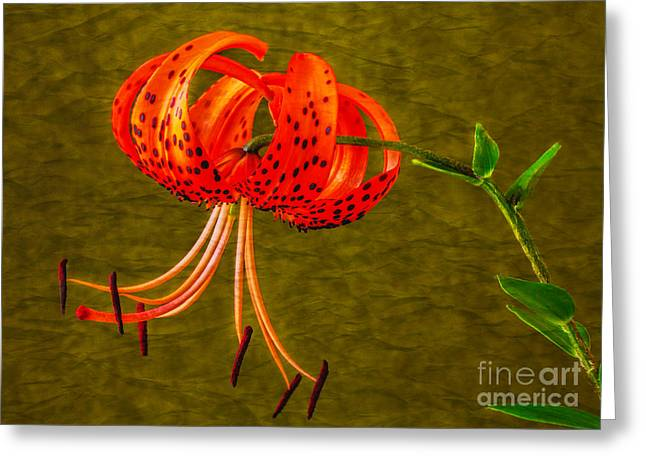 Dave Bosse Greeting Cards - Portrait of a Tiger Lily  Greeting Card by Dave Bosse