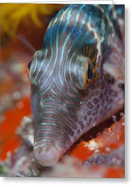 Toby Greeting Cards - Portrait of a toby fish Greeting Card by Science Photo Library