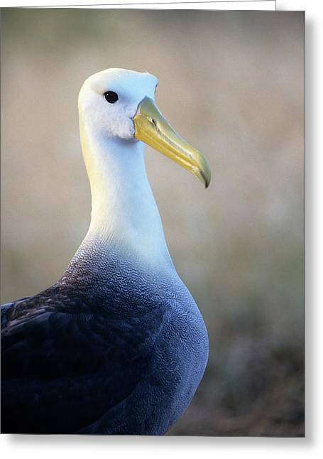 Portrait Of A Waved Albatross Greeting Card by Thomas Wiewandt