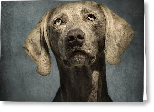Dog Portraits Greeting Cards - Portrait of a Weimaraner Dog Greeting Card by Wolf Shadow  Photography