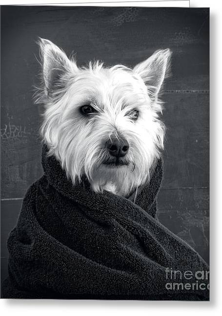 Westie Pups Greeting Cards - Portrait of a Westie Dog Greeting Card by Edward Fielding