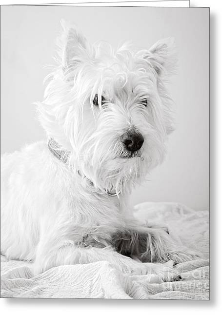 Cute Puppy Greeting Cards - Portrait of a Westie Greeting Card by Edward Fielding