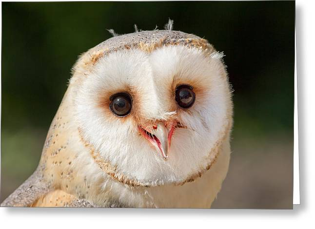 Owlets Greeting Cards - Portrait of a Young Barn Owl Greeting Card by Roeselien Raimond
