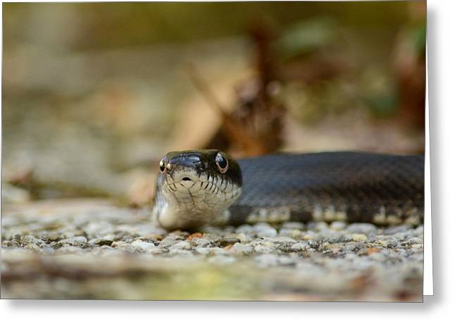 Backyard Wildlife Greeting Cards - Portrait of a Young Black Rat Snake Greeting Card by Rebecca Sherman