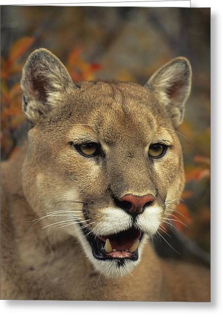 Predaceous Greeting Cards - Portrait Of Adult Male Cougar Greeting Card by Rebecca Grambo