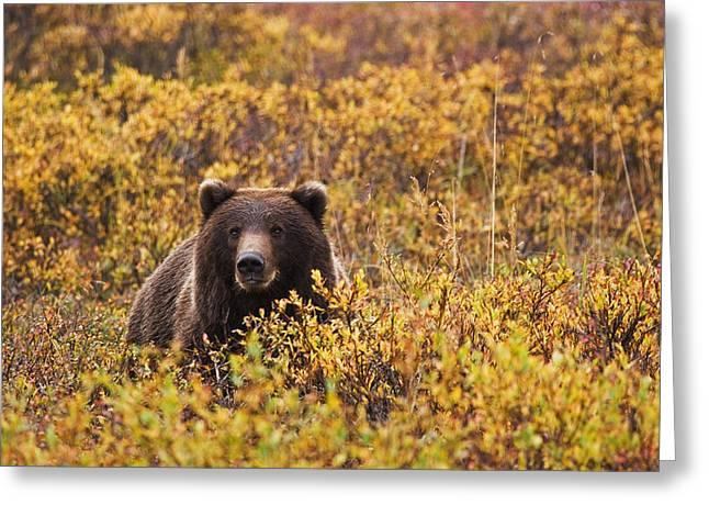 Nana Greeting Cards - Portrait Of An Adult Brown Bear Amongst Greeting Card by Lynn Wegener