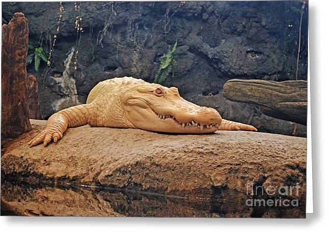 Sf Bay Bombers Greeting Cards - Portrait of an Albino Alligator Greeting Card by Jim Fitzpatrick