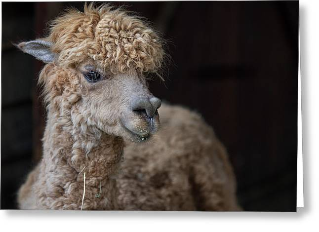 Critters Greeting Cards - Portrait of an Alpaca Greeting Card by Greg Nyquist