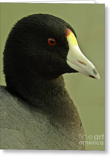 Bird Watcher Greeting Cards - Portrait Of An American Coot Greeting Card by Robert Frederick