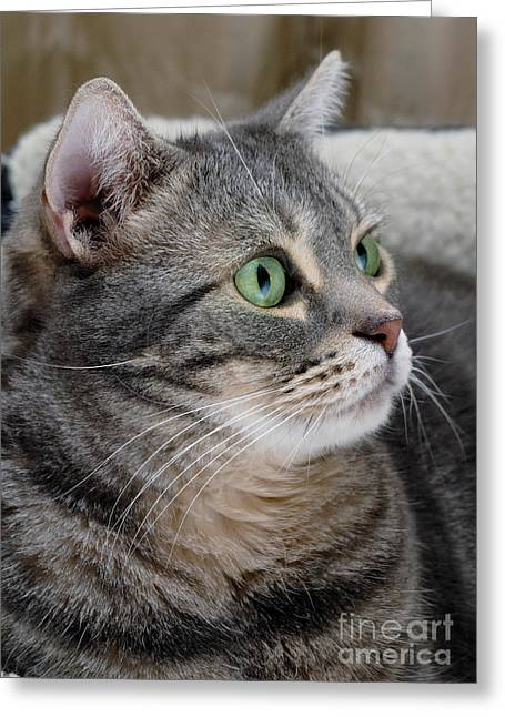 Tabby Greeting Cards - Portrait of an Ameriican Shorthair Cat Greeting Card by Amy Cicconi