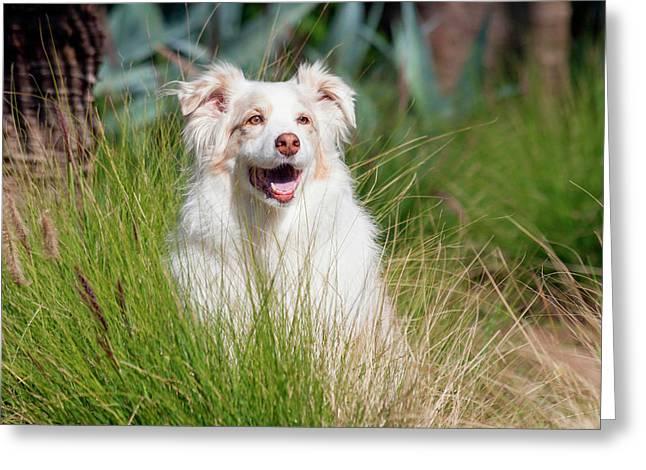Portrait Of An Australian Shepherd Greeting Card by Zandria Muench Beraldo