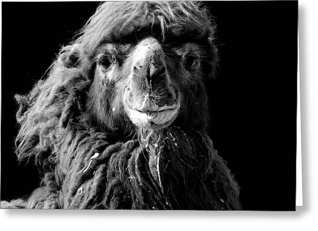 Camels Photographs Greeting Cards - Portrait of Camel in black and white Greeting Card by Lukas Holas