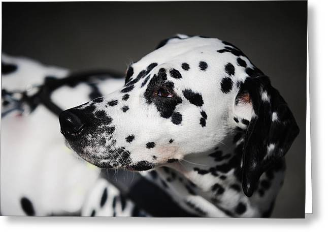 Gun Dog Greeting Cards - Portrait of Dalmation Dog. Kokkie Greeting Card by Jenny Rainbow