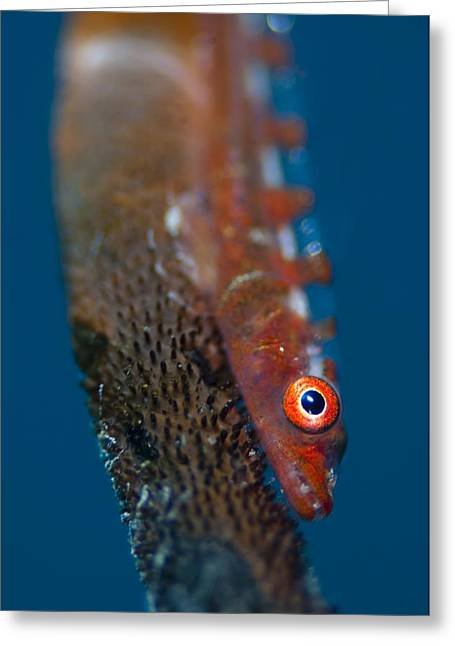 Goby Greeting Cards - Portrait of goby on sea whip Greeting Card by Science Photo Library
