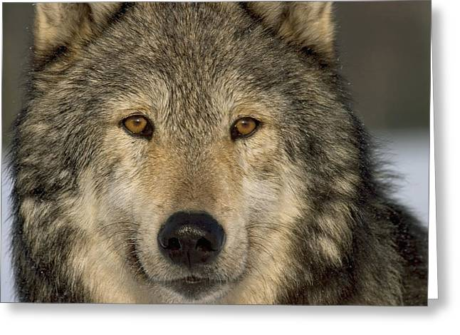 Beautiful Face Wolf Greeting Cards - Portrait Of Grey Wolf Captive Alaska Se Greeting Card by John Hyde