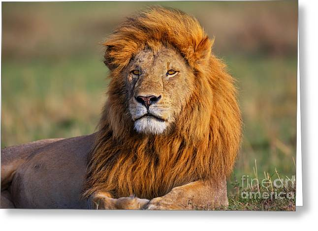 Lions Greeting Cards - Portrait of Lion Romeo II in Masai Mara Greeting Card by Maggy Meyer
