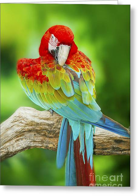 Scarlet Macaw Greeting Cards - Portrait of Macaw Greeting Card by Anek Suwannaphoom