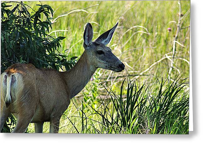 Bill Kesler Greeting Cards - Portrait of Mule Deer Doe Greeting Card by Bill Kesler