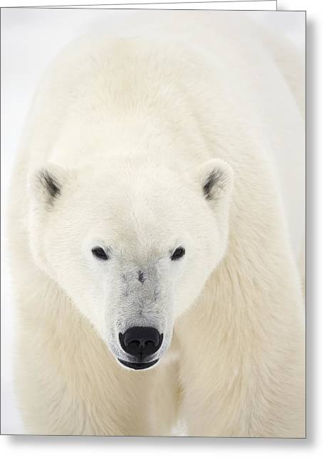 Alert Bay Greeting Cards - Portrait Of Polar Bear On The Shore Ice Greeting Card by Robert Postma