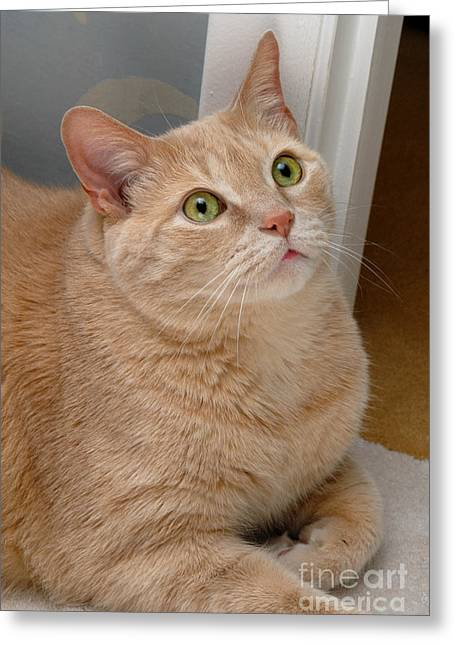 Domestic Cat Greeting Cards - Portrait Orange Tabby Cat Greeting Card by Amy Cicconi