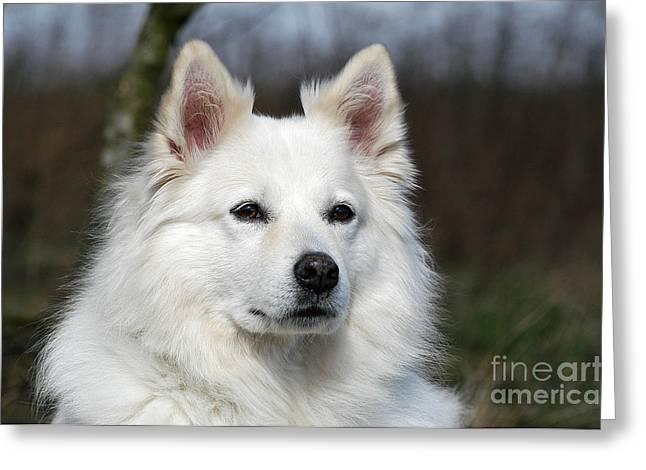 Portrait White Samoyed Dog Greeting Card by Dog Photos