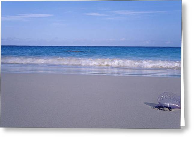 Man Of War Greeting Cards - Portuguese Man-of-war Physalia Physalis Greeting Card by Panoramic Images