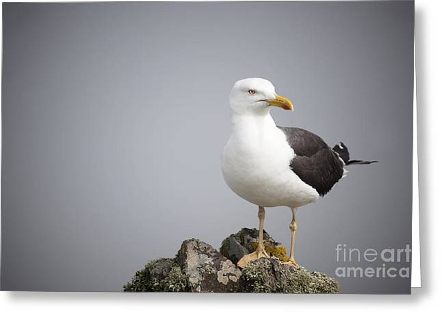 Seabirds Greeting Cards - Posed Gull Greeting Card by Anne Gilbert