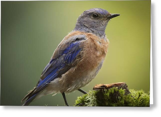 Western Blue Bird Greeting Cards - Posing Bluebird Greeting Card by Jean Noren
