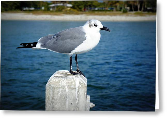 St Petersburg Florida Greeting Cards - Posing For Fish Greeting Card by Laurie Perry