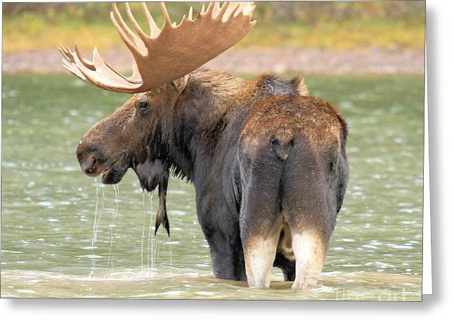Moose In Water Greeting Cards - Posing In Fishercap Greeting Card by Adam Jewell