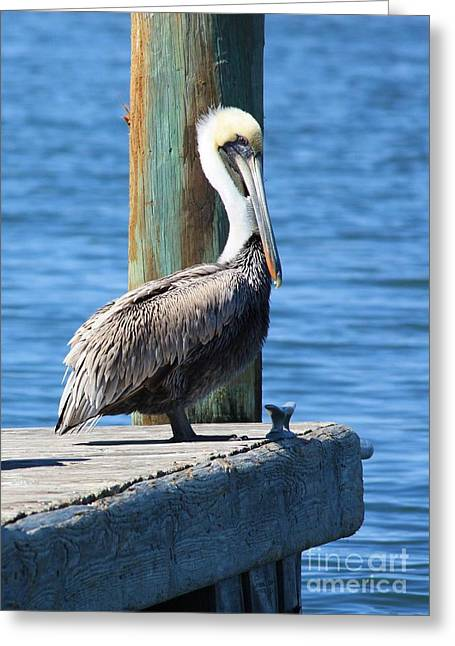Florida Gulf Coast Greeting Cards - Posing Pelican Greeting Card by Carol Groenen