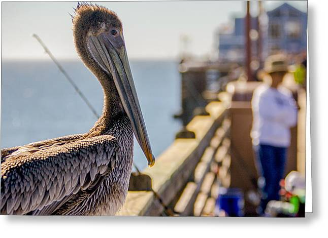 Observer Greeting Cards - Posing Pelican Greeting Card by Robert  Aycock
