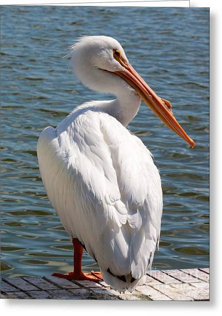 Orange Beak Greeting Cards - Posing White Pelican Greeting Card by Carol Groenen
