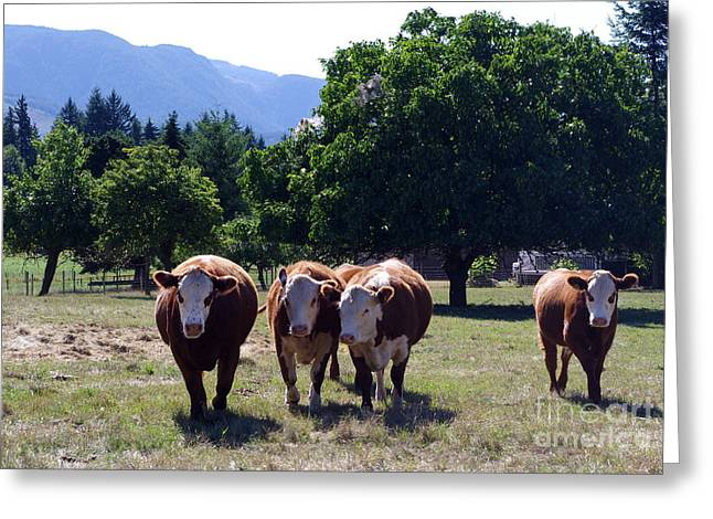 Happy Acres Farm Greeting Cards - Posse of Bovines Greeting Card by Erin Baxter