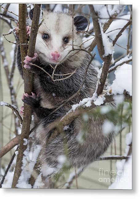 Possum Greeting Card by Steven Ralser