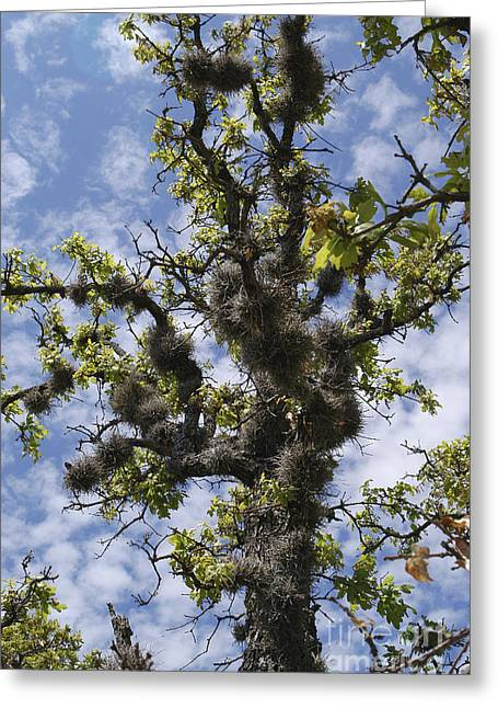Epiphyte Greeting Cards - Post Oak With Ball Moss Greeting Card by Gregory G. Dimijian