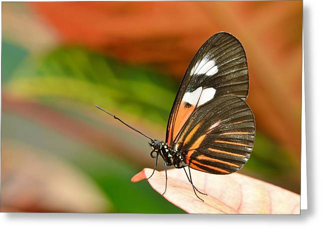Postman Greeting Cards - Postman Butterfly Greeting Card by Dean Pennala