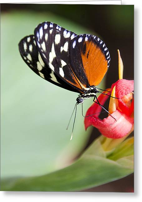Postman Greeting Cards - Postman Butterfly on a Flower  Greeting Card by Saija  Lehtonen