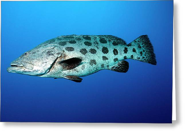 Potato Cod Greeting Card by Louise Murray